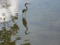 Heron in FL